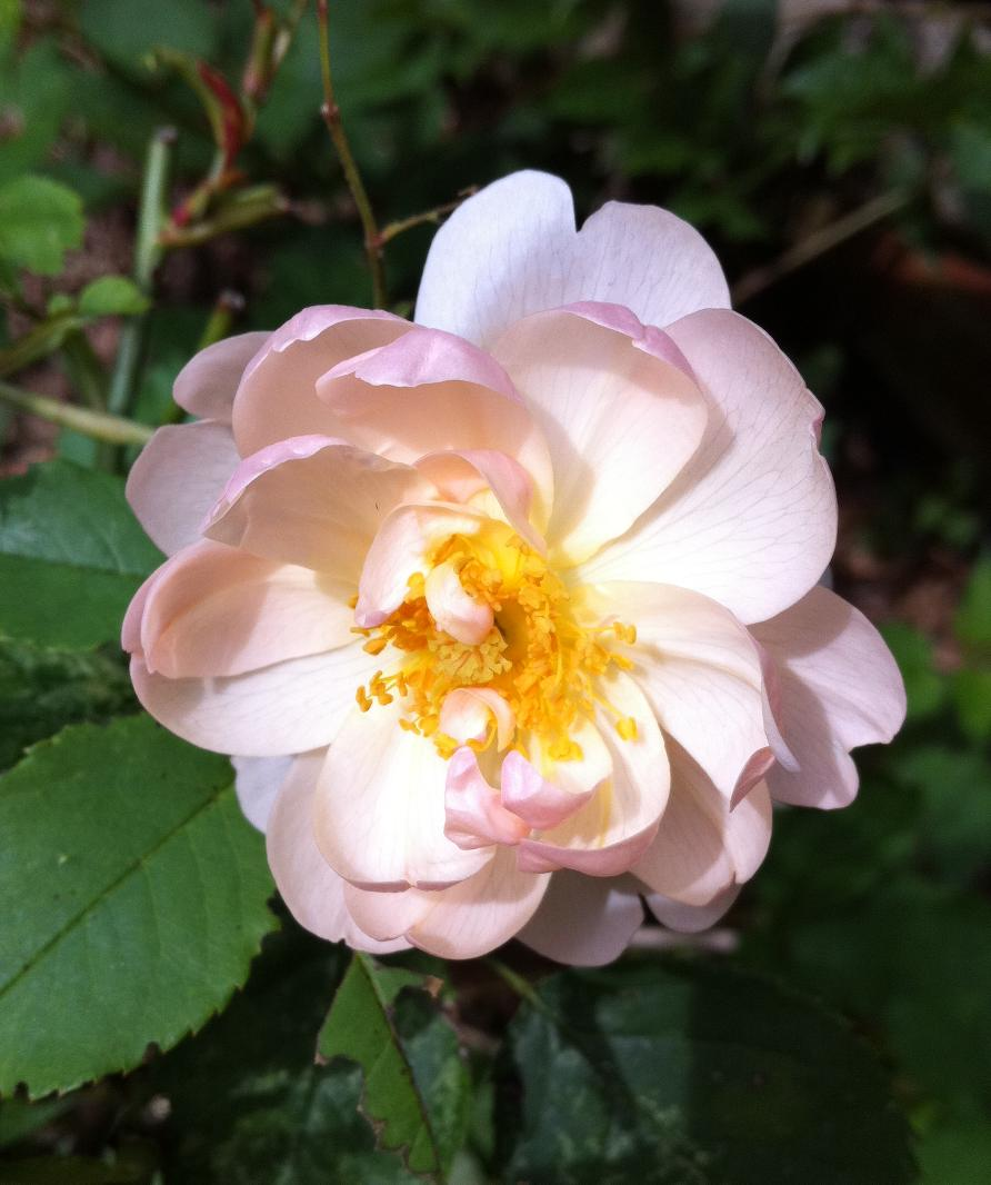 'Scarborough Fair' rose